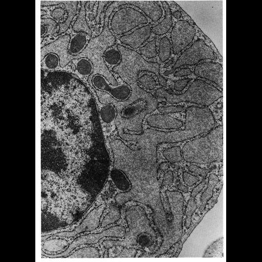 NCBI Organism:Cavia porcellus; Cell Types:plasma cell Cell Components:endoplasmic reticulum, ribosome, rough endoplasmic reticulum, nucleus, endoplasmic reticulum cisternal network; Biological process:translation