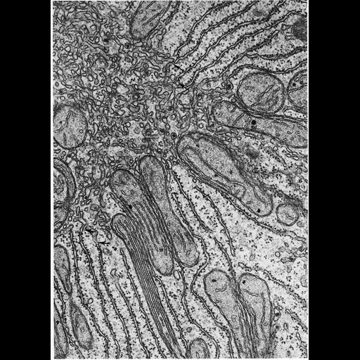 Cell Components:endoplasmic reticulum, rough endoplasmic reticulum, endoplasmic reticulum cisternal network, smooth endoplasmic reticulum; Biological process:translation