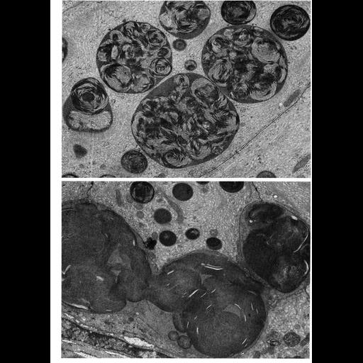 NCBI Organism:Leporidae; Cell Types:columnar/cuboidal epithelial cell Cell Components:lysosome, basal part of cell, secondary lysosome; Biological process:autophagy