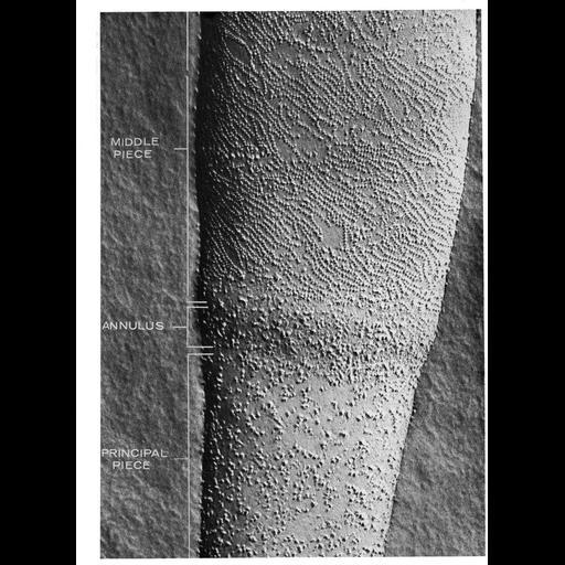 NCBI Organism:Cavia porcellus; Cell Types:sperm Cell Components:plasma membrane, plasma membrane part; Biological process:fertilization, plasma membrane organization;