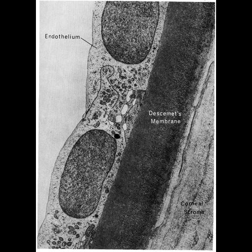 NCBI Organism:Homo sapiens; Cell Types:corneal endothelial cell Cell Components:basal lamina, extracellular region part, plasma membrane; Biological process:cell-substrate adhesion, extracellular structure organization;