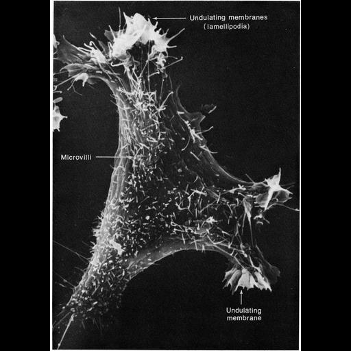 NCBI Organism:Mus musculus; Cell Types:fibroblast Cell Components:lamellipodium membrane, microvillus, filopodium, cell surface; Biological process:cell motility, cell projection organization;
