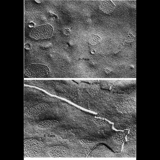 NCBI Organism:Macaca mulatta, Limulus polyphemus, ; Cell Types:non-pigmented ciliary epithelial cell, epithelial cell; Cell Components:gap junction, connexon complex, plasma membrane; Biological process:cell communication, cell-cell junction organization;