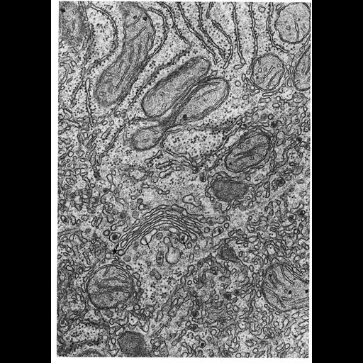 NCBI Organism:Rattus; Cell Types:hepatocyte Cell Components:Golgi apparatus, Golgi stack; Biological process:post-translational protein modification, carbohydrate biosynthetic process, protein glycosylation;