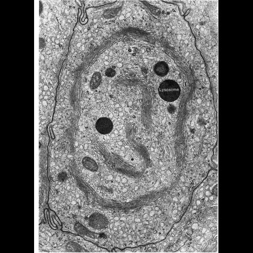 NCBI Organism:Leporidae; Cell Types:epithelial cell Cell Components:Golgi apparatus, Golgi stack, lysosome, endoplasmic reticulum; Biological process:post-translational protein modification, carbohydrate biosynthetic process, protein glycosylation;