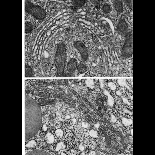 NCBI Organism:Cavia porcellus, Rattus, ; Cell Types:Leydig cell, acinar cell; Cell Components:Golgi apparatus, Golgi stack; Biological process:post-translational protein modification, carbohydrate biosynthetic process, protein glycosylation;