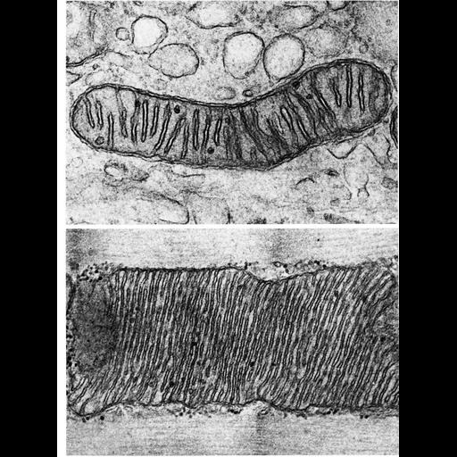 NCBI Organism:Mus musculus, Myotis lucifugus, ; Cell Types:epithelial cell, skeletal muscle cell; Cell Components:mitochondrion, mitochondrial crista, mitochondrial outer membrane, mitochondrial inner membrane; Biological process:cellular respiration
