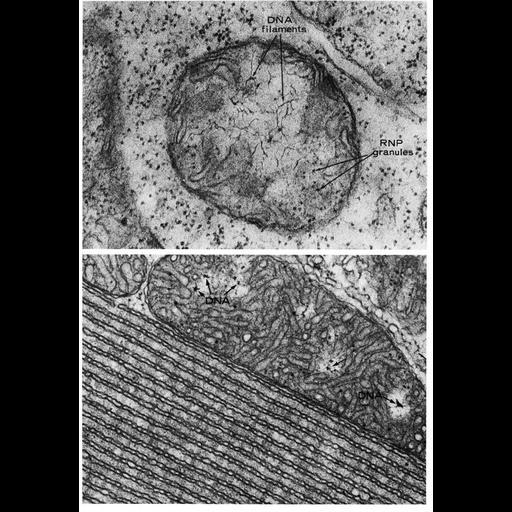NCBI Organism:Vicia faba, Serpentes, ; Cell Components:mitochondrion, mitochondrial crista, mitochondrial outer membrane, mitochondrial inner membrane, mitochondrial chromosome, endoplasmic reticulum; Biological process:mitochondrial DNA replication