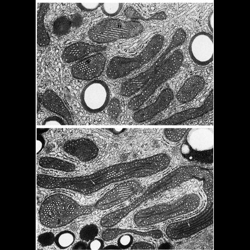 NCBI Organism:Spermophilus citellus; Cell Types:Leydig cell Cell Components:mitochondrion, mitochondrial crista, mitochondrial outer membrane, mitochondrial inner membrane; Biological process:cellular respiration