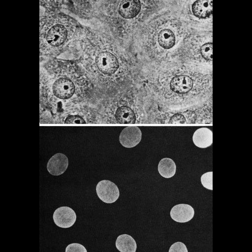 NCBI Organism:Cricetulus griseus; Cell Components:nucleus, nuclear lamina; Biological process:nucleus organization