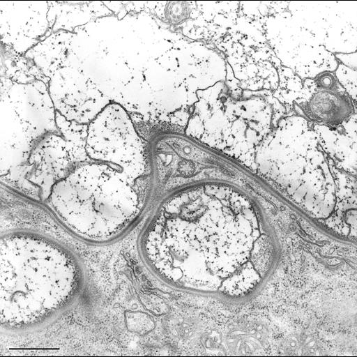 NCBI Organism:Nassula; Cell Types:cell by organism, eukaryotic cell, , ; Cell Components:cell cortex, clathrin coat; Biological process:cortical cytoskeleton organization, clathrin coat assembly;