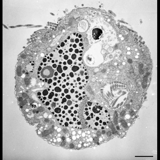 NCBI Organism:Halteria grandinella; Cell Types:cell by organism, eukaryotic cell, , ; Cell Components:macronucleus, oral apparatus, food vacuole; Biological process:macronucleus organization, , DNA strand elongation;