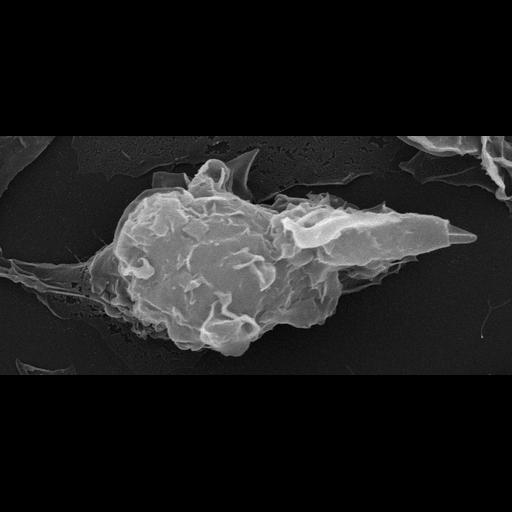 NCBI Organism:Leishmania mexicana;