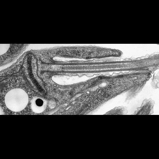 NCBI Organism:Leishmania mexicana; Cell Components:kinetoplast, flagellar pocket, , , mitochondrial outer membrane, ;