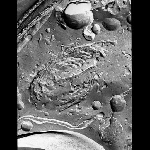 NCBI Organism:Micrasterias denticulata; Cell Components:rough endoplasmic reticulum, Golgi apparatus, plasma membrane; Biological process:endoplasmic reticulum organization, Golgi organization, plasma membrane organization;