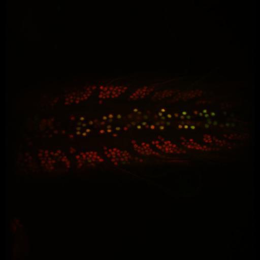 NCBI Organism:Drosophila melanogaster; Cell Types:motor neuron Cell Components:nucleus Biological process:response to wounding, JNK cascade, negative regulation of JNK cascade, central nervous system development, negative regulation of mRNA 3'-end processing;