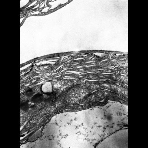 NCBI Organism:Prochloron; Cell Components:thylakoid Biological process:photosynthesis