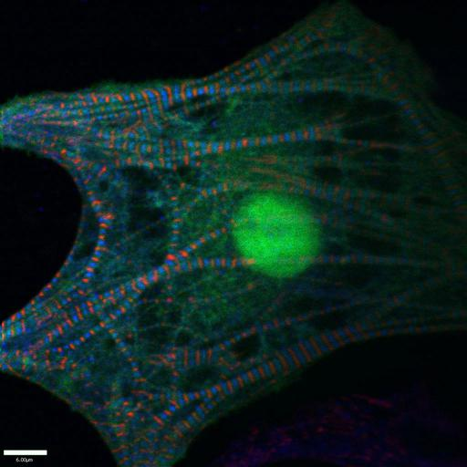 NCBI Organism:Gallus gallus gallus; Cell Types:early embryonic cell, cardiac muscle cell; Cell Components:striated muscle thin filament, actin cytoskeleton, F-actin capping protein complex, , , ; Biological process:striated muscle contraction, , ;