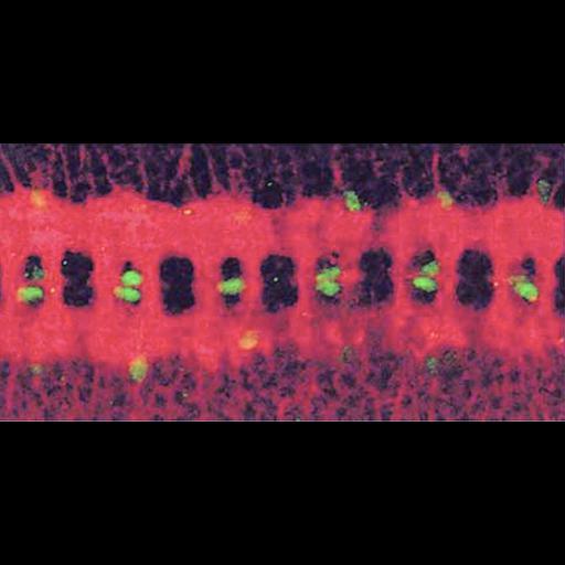 NCBI Organism:Drosophila melanogaster; Cell Types:glial cell Biological process:embryo development