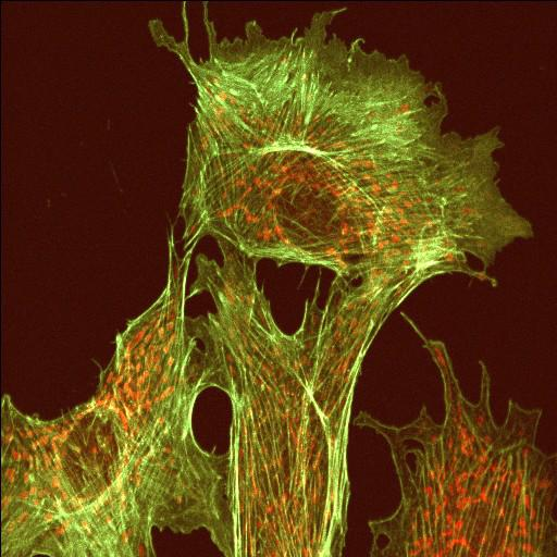 NCBI Organism:Bos primigenius; Cell Types:endothelial cell Cell Components:actin cytoskeleton, microtubule cytoskeleton;