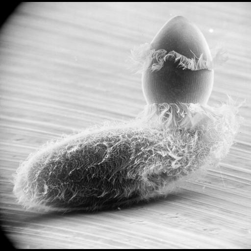 NCBI Organism:Didinium nasutum, Paramecium sp., ; Cell Types:cell by organism, eukaryotic cell, , ; Cell Components:oral apparatus, phagocytic cup, cell cortex, cell surface; Biological process:phagocytosis, phagocytosis, engulfment;