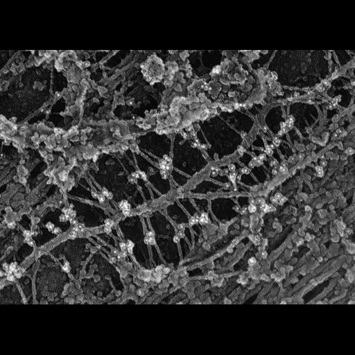 NCBI Organism:Rattus; Cell Types:fibroblast Cell Components:intermediate filament, ;