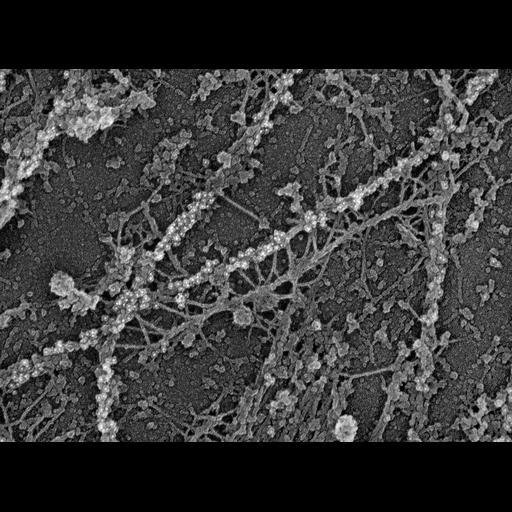 NCBI Organism:Rattus; Cell Types:fibroblast Cell Components:, microtubule, , intermediate filament;
