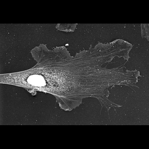 NCBI Organism:Xenopus laevis; Cell Types:fibroblast Cell Components:lamellipodium, , nucleus; Biological process:actin filament organization, ruffle organization;