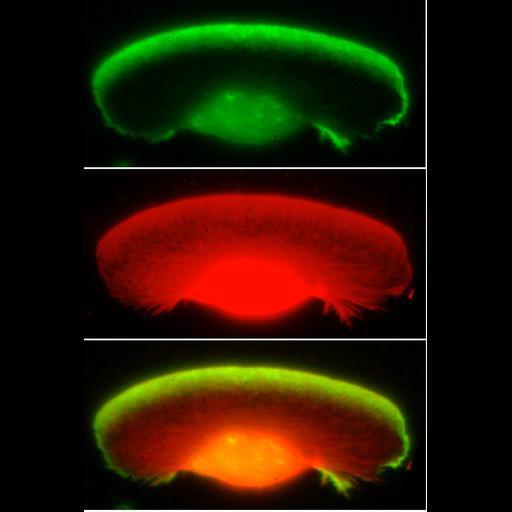 NCBI Organism:Xenopus laevis; Cell Components:lamellipodium, actin cytoskeleton; Biological process:cellular macromolecule localization