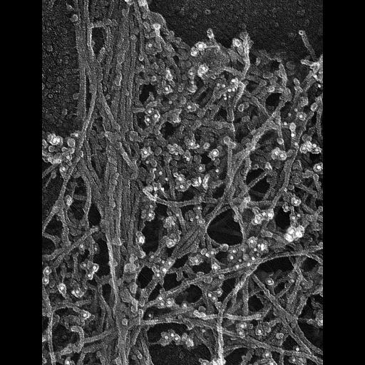 Cell Types:fibroblast Cell Components:lamellipodium, actin cytoskeleton; Biological process:actin filament-based process