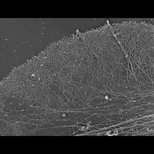 NCBI Organism:Xenopus laevis; Cell Types:fibroblast Cell Components:lamellipodium, actin cytoskeleton, filopodium; Biological process:cellular localization, actin filament organization;