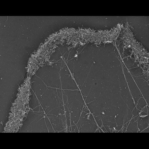 NCBI Organism:Xenopus laevis; Cell Types:fibroblast Cell Components:lamellipodium, actin cytoskeleton; Biological process:cellular localization