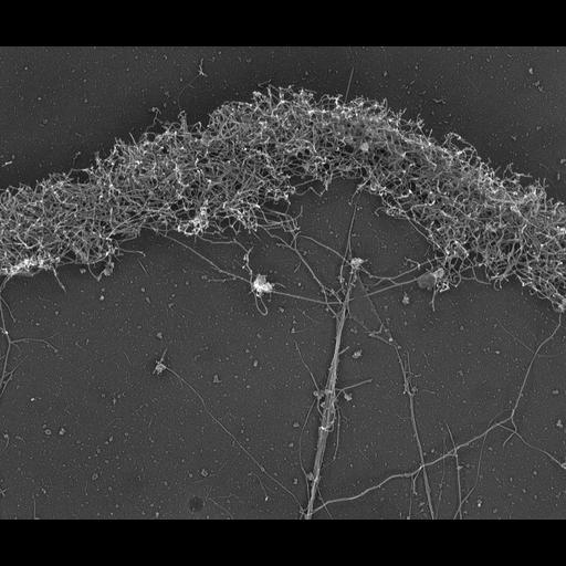 NCBI Organism:Xenopus laevis; Cell Components:lamellipodium, actin cytoskeleton; Biological process:cellular localization, actin filament-based process;