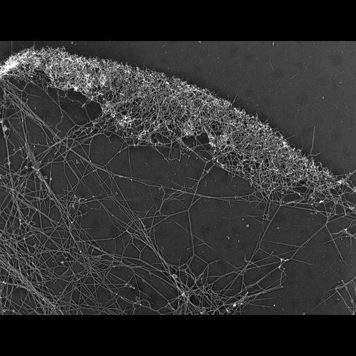 NCBI Organism:Xenopus laevis; Cell Types:fibroblast Cell Components:actin cytoskeleton, lamellipodium; Biological process:, , actin filament-based process;