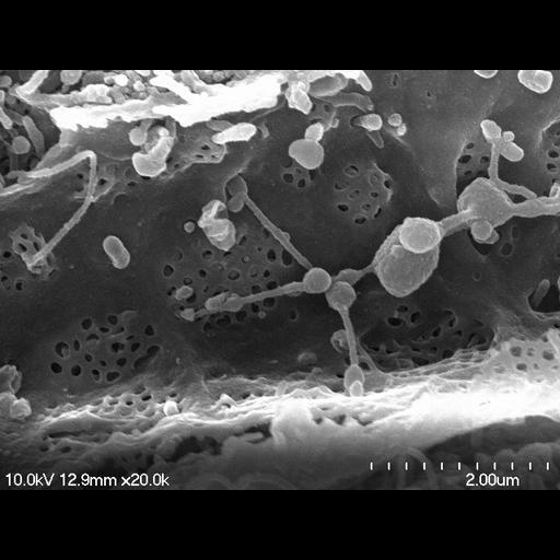 NCBI Organism:Rattus norvegicus;