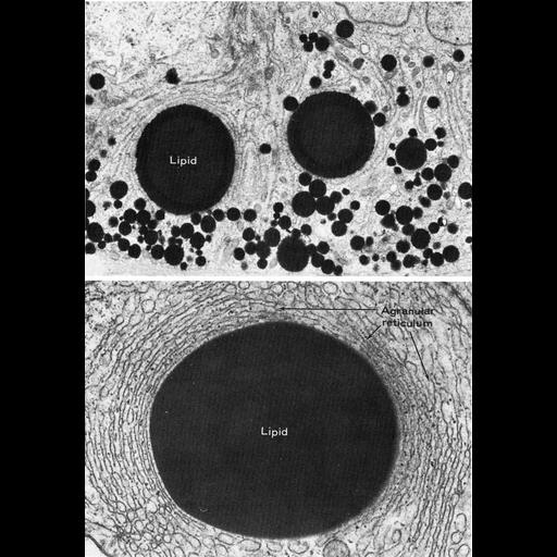 NCBI Organism:Litocranius walleri, Ovis aries, ; Cell Types:Sertoli cell Cell Components:lipid particle, smooth endoplasmic reticulum; Biological process:lipid storage