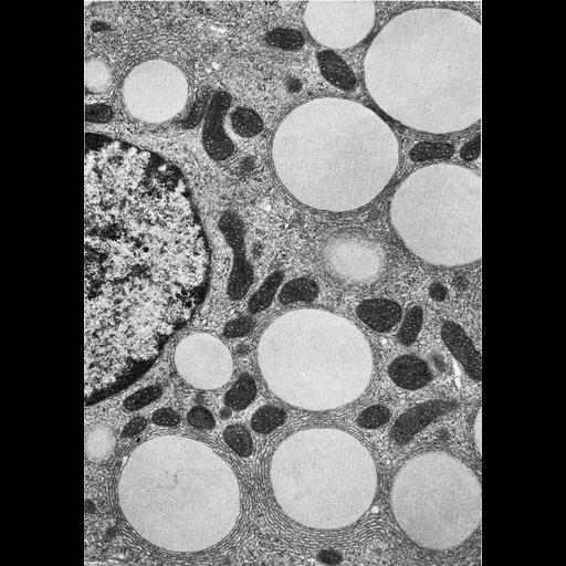 NCBI Organism:Spermophilus citellus; Cell Types:Leydig cell Cell Components:lipid particle, smooth endoplasmic reticulum; Biological process:lipid storage