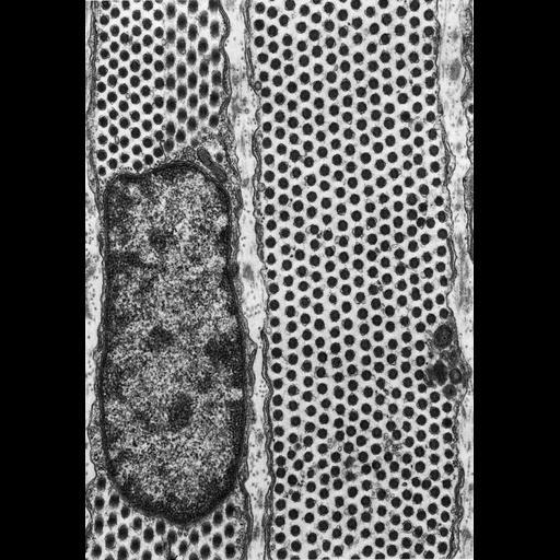 NCBI Organism:Felis catus; Cell Components:inclusion body, endoplasmic reticulum; Biological process:detection of light stimulus involved in visual perception