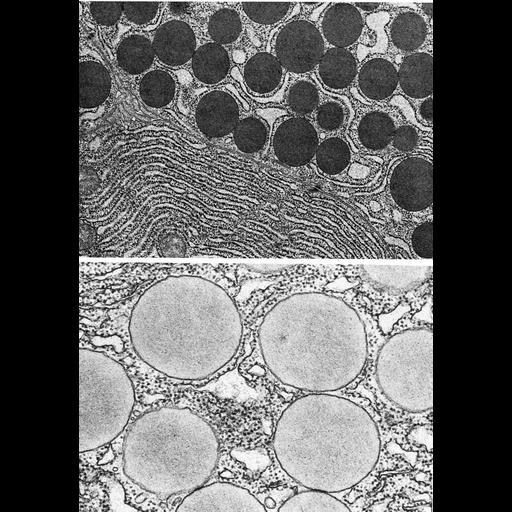 NCBI Organism:Homo sapiens, Cavia porcellus, ; Cell Types:acinar cell Cell Components:secretory granule, zymogen granule, endoplasmic reticulum; Biological process:secretory granule organization