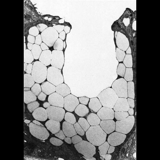 NCBI Organism:Leporidae; Cell Types:simple columnar epithelial cell, mucus secreting cell; Cell Components:secretory granule, apical part of cell; Biological process:exocytosis, secretory granule organization;