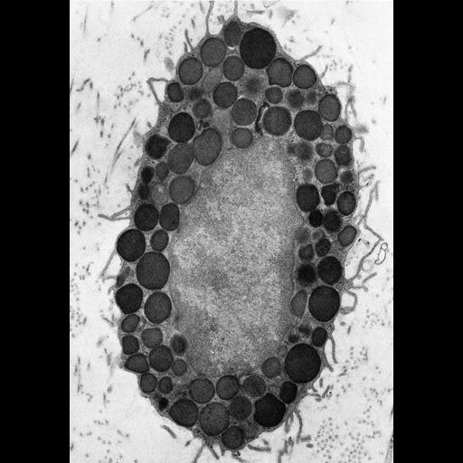 NCBI Organism:Rattus; Cell Types:mast cell Cell Components:secretory granule Biological process:secretory granule organization