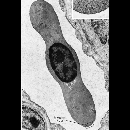 NCBI Organism:Opsanus tau; Cell Types:erythrocyte Cell Components:microtubule, microtubule-based flagellum part; Biological process:microtubule cytoskeleton organization, regulation of cell shape;