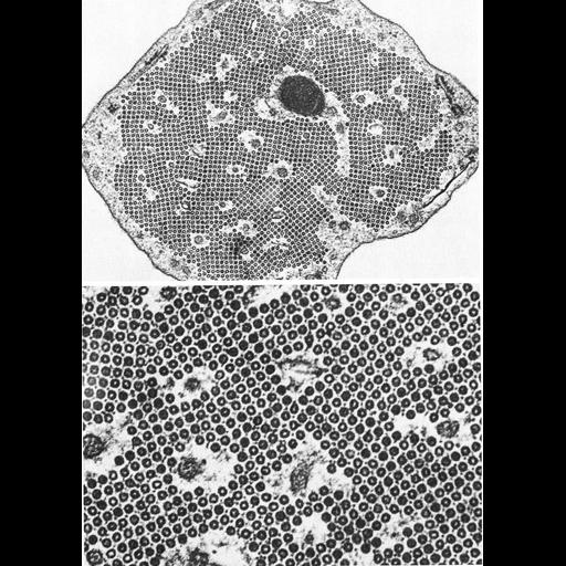 NCBI Organism:Mammalia; Cell Types:pillar cell Cell Components:microtubule Biological process:regulation of cell shape