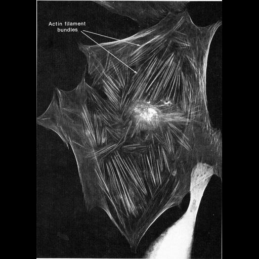 NCBI Organism:Homo sapiens; Cell Types:fibroblast Cell Components:actin filament bundle, stress fiber; Biological process:actin cytoskeleton organization