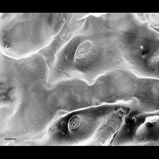 NCBI Organism:Paramecium multimicronucleatum; Cell Types:cell by organism, eukaryotic cell, , ; Cell Components:plasma membrane, cilium, trichocyst, ; Biological process:plasma membrane organization