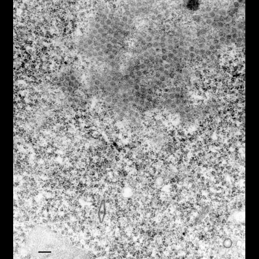 NCBI Organism:Paramecium multimicronucleatum; Cell Types:cell by organism, eukaryotic cell, , ; Cell Components:macronucleus, nuclear pore; Biological process:nuclear pore distribution, nuclear pore organization, nuclear pore localization, macronucleus organization;