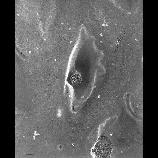 NCBI Organism:Paramecium multimicronucleatum; Cell Types:cell by organism, eukaryotic cell, , ; Cell Components:plasma membrane, trichocyst, pellicle; Biological process:plasma membrane organization