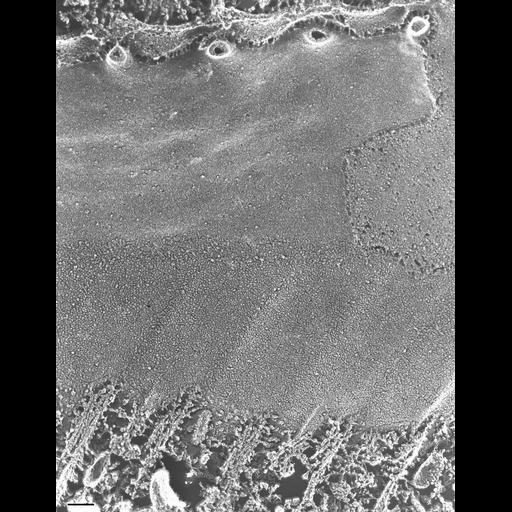 NCBI Organism:Paramecium multimicronucleatum; Cell Types:cell by organism, eukaryotic cell, , ; Cell Components:plasma membrane, oral apparatus, microtubule associated complex; Biological process:oral apparatus organization