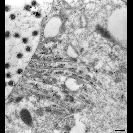NCBI Organism:Paramecium multimicronucleatum; Cell Types:cell by organism, eukaryotic cell, , ; Cell Components:early phagosome, food vacuole, vesicle membrane; Biological process:digestive system process