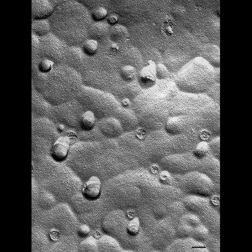 NCBI Organism:Paramecium multimicronucleatum; Cell Types:cell by organism, eukaryotic cell, , ; Cell Components:food vacuole Biological process:digestive system process